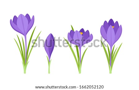 vector set of violet crocus