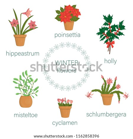 Vector set of winter flowers in pots and bouquets. Vector illustration of poinsettia, hippeastrum, schlumbergera, holly, mistletoe, cyclamen isolated on white background