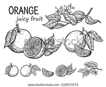 Vector set oranges hand drawn sketch. Sketch vector food illustration. Vintage style
