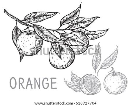 vector set oranges hand drawn...