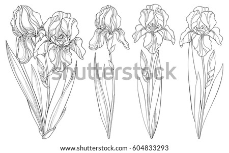 Vector set with outline Iris flower, bud and leaves in black isolated on white background. Ornate floral templates for spring or summer design, greeting, coloring book with Irises in contour style