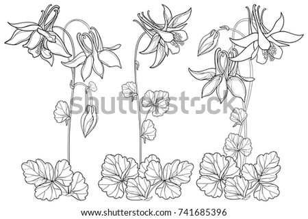 Vector set with outline ornate Aquilegia or Columbine flower, bud and foliage in black isolated on white background. Perennial flower Columbine in contour style for summer design and coloring book.