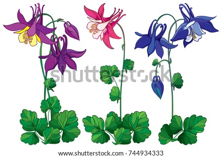 Vector set with outline ornate Aquilegia or Columbine flower in pink, violet and blue, bud and leaf isolated on white background. Perennial flower Columbine in contour style for summer design.