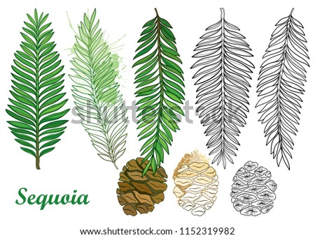Vector set with outline Sequoia or California redwood in black and pastel green isolated on white background. Contour coniferous tree with pine, cone and branch for botany design or coloring book.