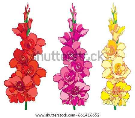 Vector set with red, pink and yellow Gladiolus or sword lily flower bunch isolated on white background. Floral elements in contour style with ornate gladioli for summer design.