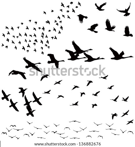 Vector silhouettes a flock of birds crows swans geese. Silhouette a flock of birds