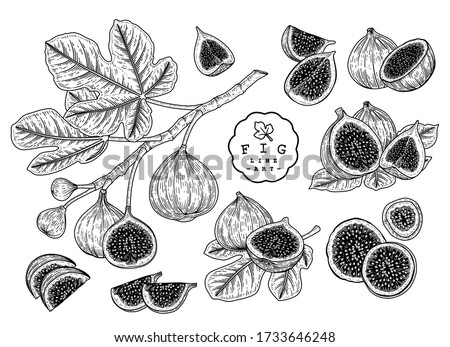 Vector Sketch Fruit decorative set. Fig. Hand Drawn Botanical Illustrations. Black and white with line art isolated on white backgrounds. Fruits drawings. Retro style elements.