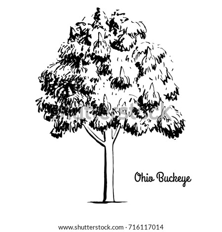 Vector sketch illustration of Ohio or Fetid Buckeye. Black silhouette of American Buckeye isolated on white background. Official state tree of Ohio.