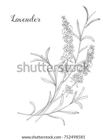 vector sketch lavender