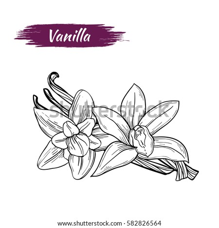 Vector sketch of vanilla isolated on white background. Spices, seasonings, ingredient of a healthy diet