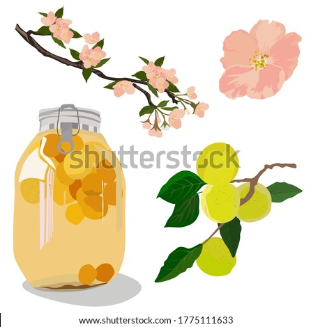 Vector stock illustration of plum wine. Japanese alcohol made of plums. Set Bank in compote, apricot fruit, flowering tree. Jar of peach compote. Green plum. UMESHU. Isolated on a white background.