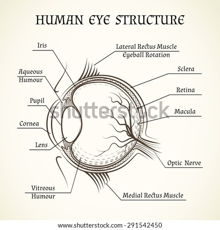 vector structure of the human