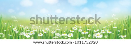 Vector summer nature  background, daisy  flowers field.