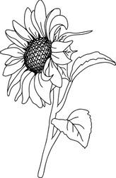 Vector Sunflower illustration, Black and White Floral outline, Sunflower summer clipart