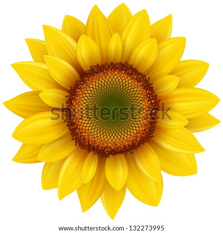 vector sunflower  realistic