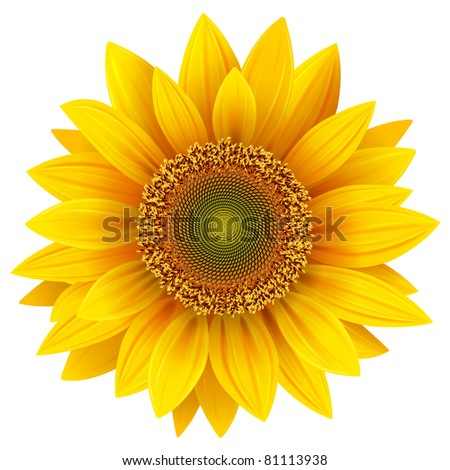 vector sunflower  realistic