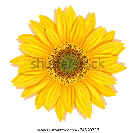 vector sunflowers on a white