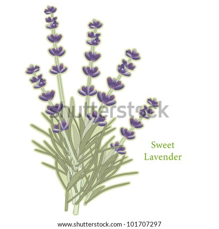 vector - Sweet Lavender Herb. Classic ingredient of French cooking herb blend, Herbes de Provence. Flowers for perfume. See other herbs and spices in this series. EPS8 compatible.