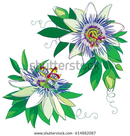 vector tropical blue passiflora