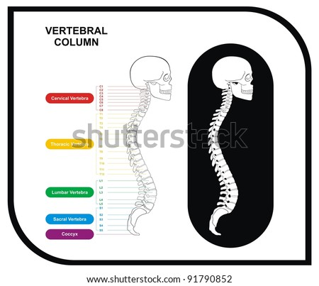 VECTOR - Vertebral Column (Spine) Diagram including Vertebra Groups ( Cervical, Thoracic, Lumbar, Sacral ) - Useful For Medical Education and Clinics