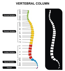 Vector Vertebral Column Spine Diagram including Vertebra Groups Cervical Thoracic Lumbar Sacral Useful For Medical Education and Clinics