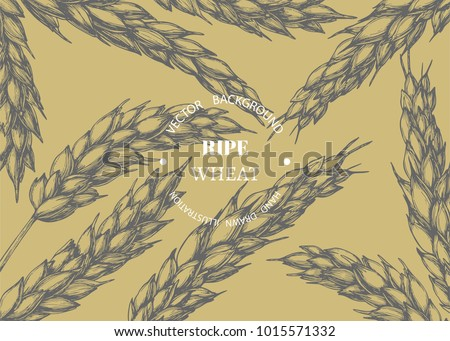 Vector vintage background with wheat ears. Botanical hand drawn illustration of spikelets in engraving style for bakery or oil design. Cereal crop sketch
