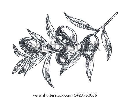 Vector vintage botanical illustration of olive branch in engraving style. Hand drawn sketch of plant with fruits isolated on white. Photo stock ©
