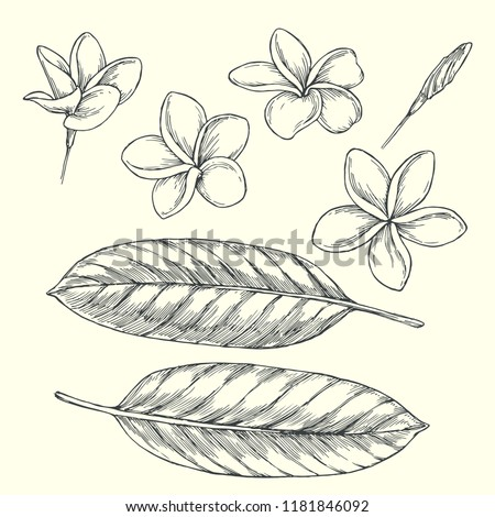 Vector vintage set of plumeria flowers in different views isolated on white. Hand drawn botanical illustration of tropical blooming plants in engraving style. Floral elements for design