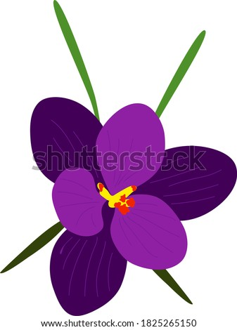 vector violet crocus isolated