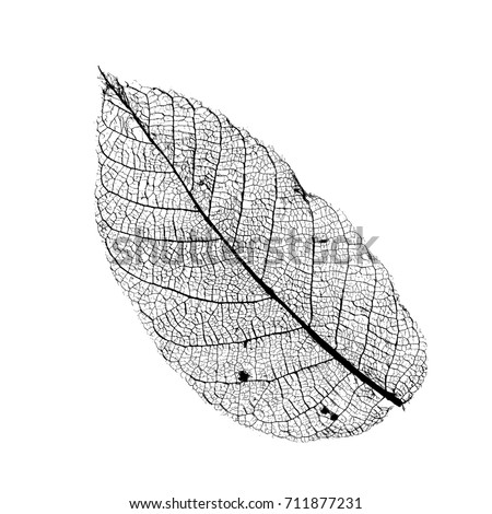 vector walnut leaf structure