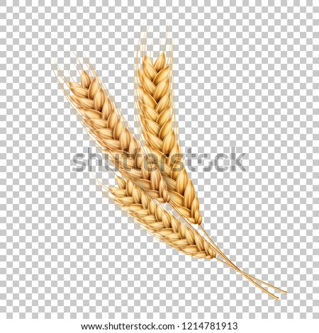 Vector wheat ears spikelets with grains. Realistic oat bunch, yellow sereals for backery, flour production design. Whole stalks, organic vegetarian food packaging element. Transparent background