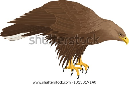 vector white tailed eagle