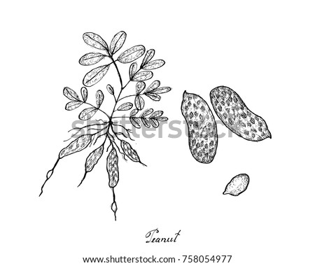 Vetor de frutas e legumes download vetores e grficos gratuitos vegetable and fruit illustration of hand drawn sketch fresh peanuts or groundnut with groundnut plants ccuart Image collections