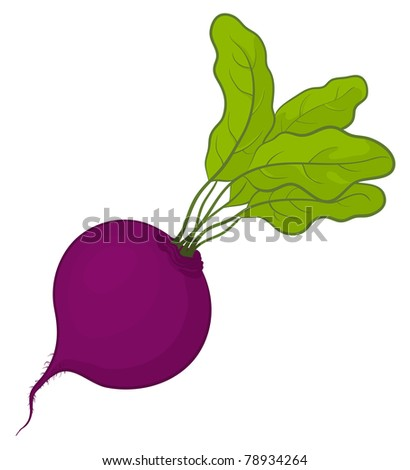 Vegetable, fresh beet with green leaves, vector, isolated on white