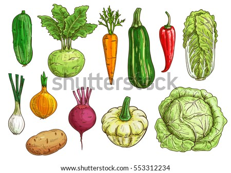 Vegetable isolated sketches. Fresh pepper, carrot, onion, beet and potato, cabbage and cucumber, zucchini and kohlrabi, pattypan squash veggies. Food themes, vegetarian menu, farm market design