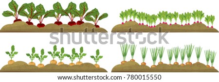 Vegetable plots with different root vegetables #780015550
