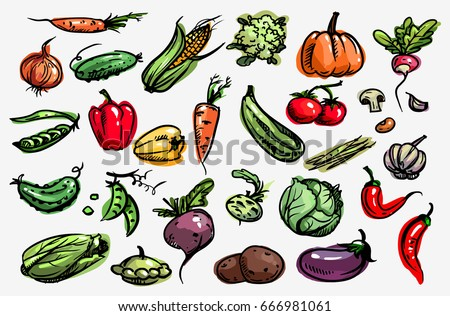 Vegetable set.  Vector. Corn, onion, pepper, peas, chili, cauliflower, zucchini, tomato, pumpkin, beet, carrot, potatoes, cabbage, asparagus, kohlrabi, garlic, squash