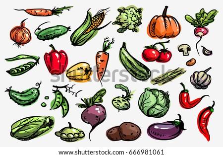 Vegetable set.  Vector. Corn, onion, pepper, peas, chili, cauliflower, zucchini, tomato, pumpkin, beet, carrot, potatoes, cabbage, asparagus, kohlrabi, garlic, squash
