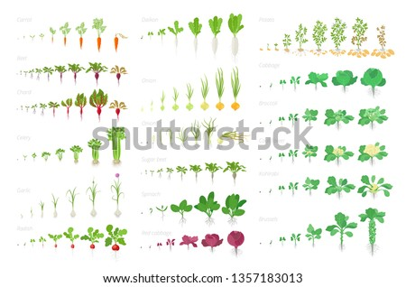 Vegetables agricultural plant, growth big set animation. Vector infographics showing the progression growing plants. Growth stages planting. Carrots celery garlic onions cabbage potatoes and many