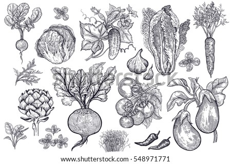 Vegetables, roots, salads and spices isolated on white background set. Black ink  hand drawing. Vector illustration art. Vintage engraving. Sketch of vegetarian food for kitchen and restaurant design.