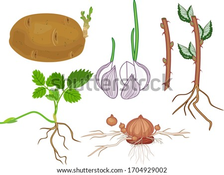 Vegetative reproduction of plants. Tubers, bulbs, stem and daughter plant isolated on white background Stock photo ©