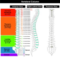 Vertebral Column spine structure of human body anterior posterior right lateral view with all vertebrae groups. cervical, thoracic, lumbar, sacrum, coccyx caption for medical education  vector