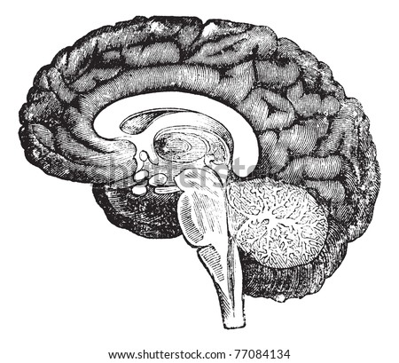 Vertical section of the profile of a human brain vintage engraving, showing the medulla oblongata, pons, cerebellum potion median, the tree of life, the central parts of the brain and the convolutions