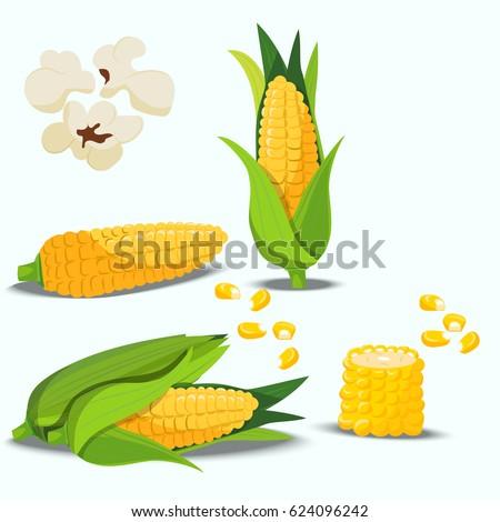Very high quality original trendy vector set with sweet golden corn. Bunch of Corn. summer farm design elements
