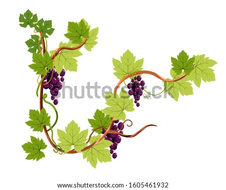 Vine or grapes bunches on branch isolated icon, winery