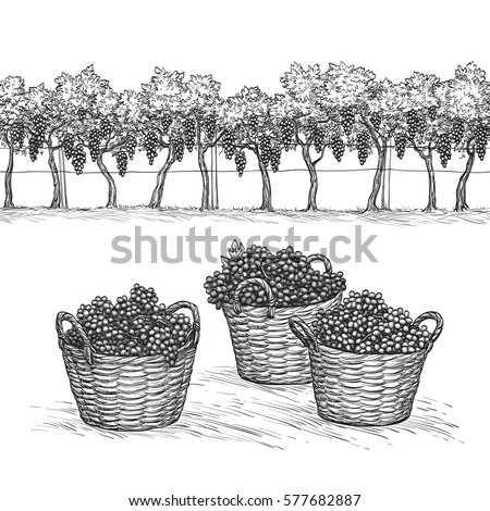 vineyard and grapes in basket