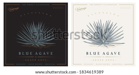 Vintage agave azul detailed engraved style illustration. Blue agave sketch Foto stock ©
