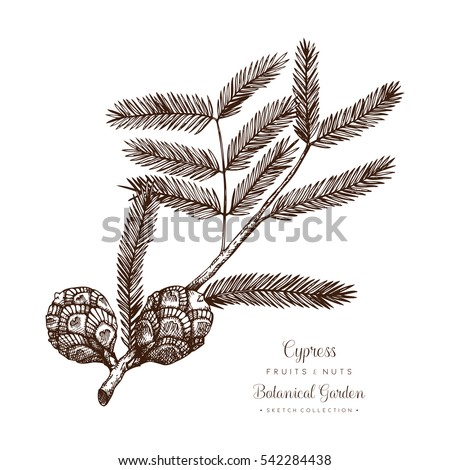 vintage cypress illustration....