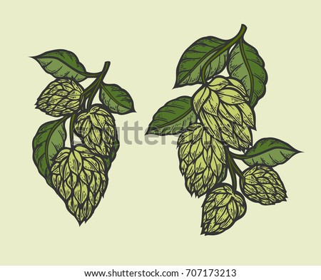 Vintage designs set with hops and leaves. Hop hand drawn in artistic engraved style. Colored vector illustration. Isolated on white background.