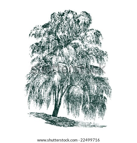 vintage detailed vector tree. Willow.